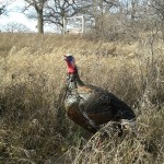 Photo of a turkey in the grass