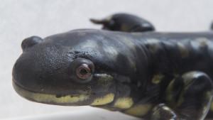 Photo of a salamander