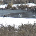 Two trumpeter swans and a goose on a partially frozen wetland