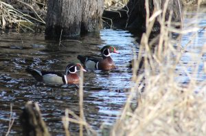 Photo of two adult male wood ducks swimming