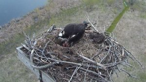 Photo of an osprey standing over three eggs
