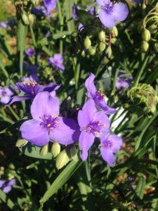 Photo of purple spiderwort plant