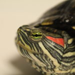 Photo of a red-eared slider turtle