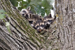 Photo of raccoons in a tree
