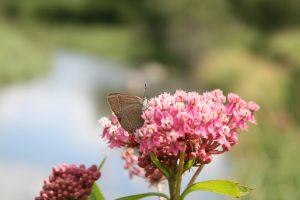 Photo of a moth on swamp milkweed