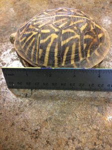 Photo of Teddy the turtle by a ruler