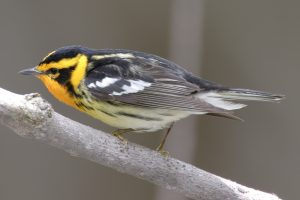 Photo of a blackburnian warbler