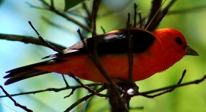 Photo of a bright scarlet tanager