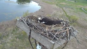 Photo of osprey in a nest