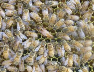 Photo of the queen honeybee amidst worker bees