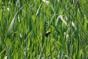 Photo of a bumble bee in grass