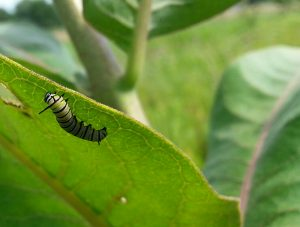 Photo of a monarch caterpillar on milkweed