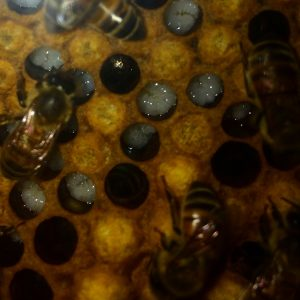 Photo of bee larva in a hive