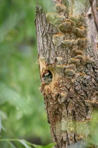 Photograph of a downy woodpecker in a tree