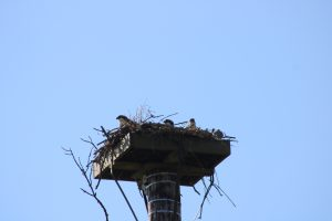 Photo of three osprey chicks peeking out of the nest