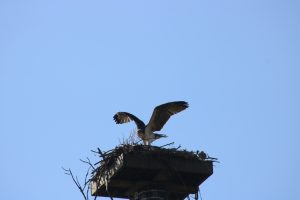 Photo of an osprey chick flapping its wings