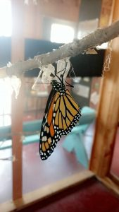 Photo of a monarch hanging from empty chrysalis