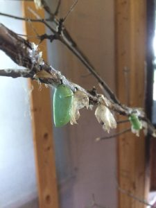 Photo of a chrysalis on a tree