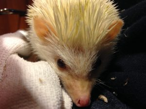 Photo of Honey the hedgehog