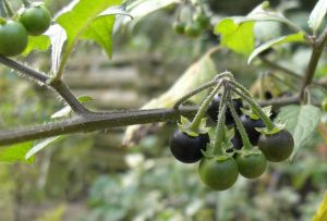 Photo of a nightshade plant