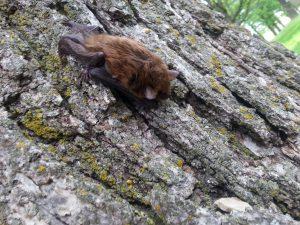 Photo of a little brown bat