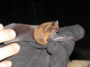 Photo of an evening bat on a hand