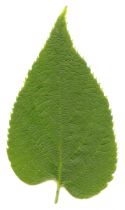 Photo of a hackberry leaf