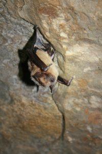 Photo of a big brown bat