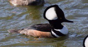 Photo of a hooded merganser duck