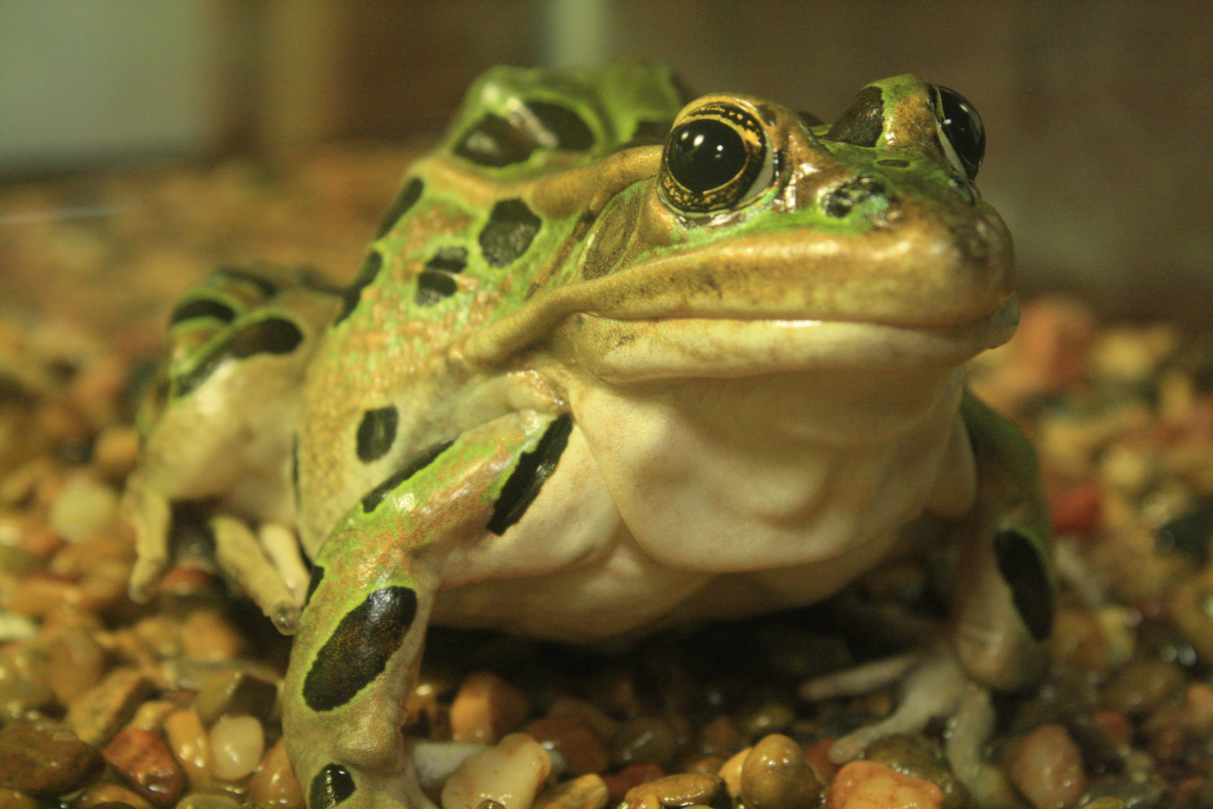 frogs are the real living dead dickinson county conservation board