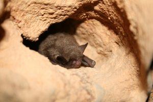 Photo of an Indiana bat