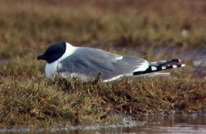 Photo of a Sabine's gull