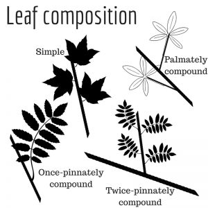 Graphic of leaf composition