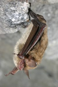 Photo of a northern long-eared bat