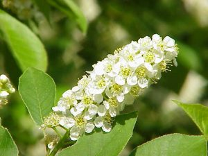 Photo of chokecherry flowers