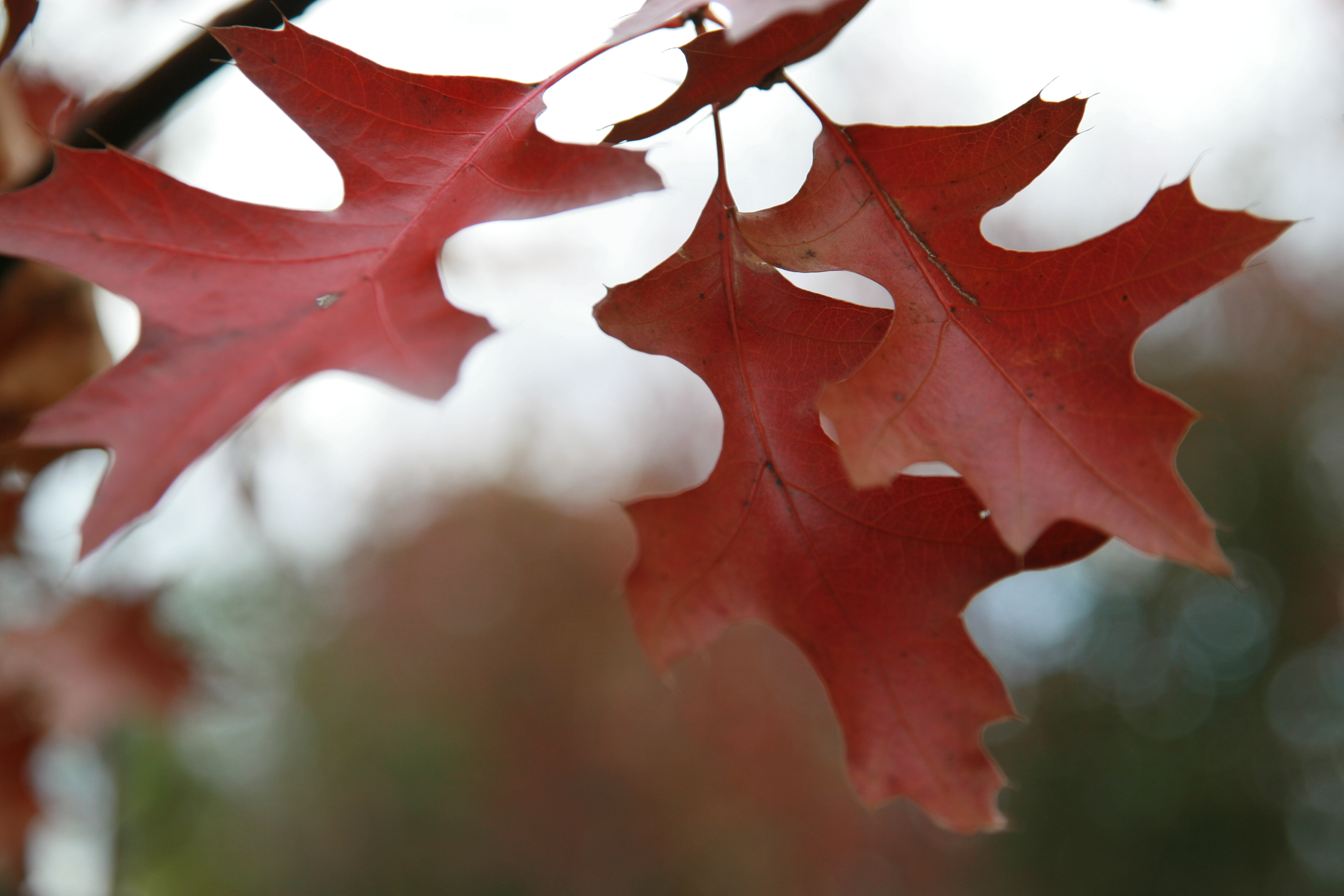Photo Of A Northern Pin Oak Leaf