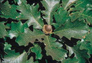 Photo of a bur oak leaf