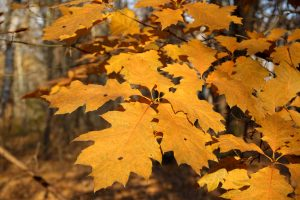 Photo of a red oak leaf