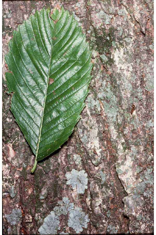 Photo Of An American Elm Leaf