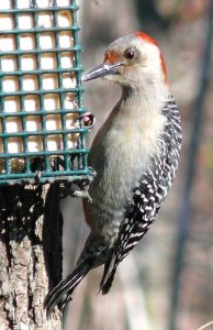 Photo of a red-bellied woodpecker at a suet feeder