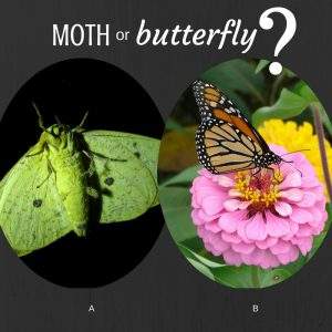 Graphic asking moth or butterfly with two photos