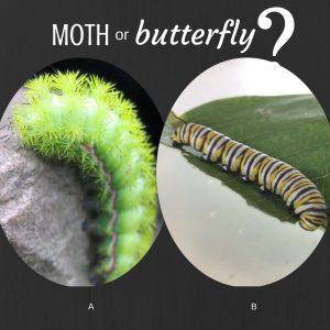 Graphic of moth and butterfly caterpillars