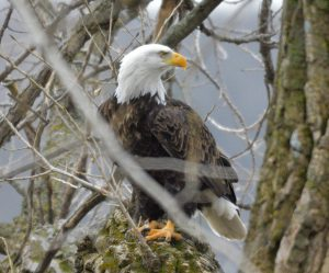 Photo of a bald eagle