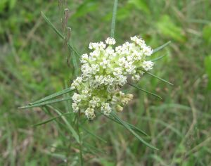 Photo of whorled milkweed