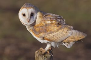 Photo of a barn owl