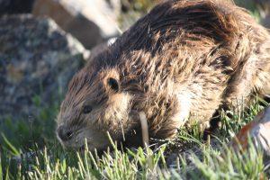 Photo of a beaver