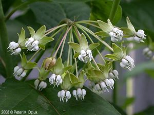 Photo of poke milkweed