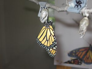 Photo of a monarch butterfly hanging from its chrysalis