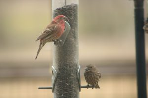Photo of two house finches at a feeder