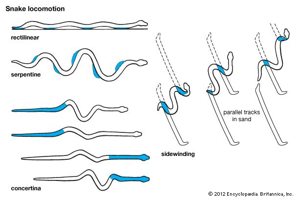 Graphic about snake motion